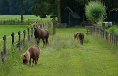 Do you have something to say? (joeke pieters) Tags: 1280178 panasonicdmcfz150 vorden achterhoek gelderland nederland netherlands holland paarden ponies horses pony paard horse pferd cheval hek fence hff wei pasture landelijk rural pastoral