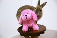 Ichigo san 306  (mensore) Tags: brown bunny cute ichigo netherlanddwarf pet rabbit