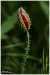 AON   38 (Caruachi primero) Tags: amapolas aon flores silvestres vegetales andemoncayo aragn espaa