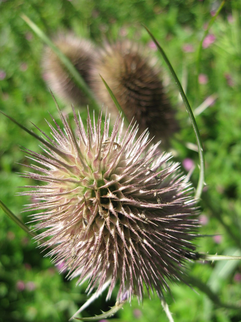 Teasel Eastrop Burns Pictures Tags Canon Ixus 900ti