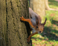 I See You (joodyka) Tags: nature squirrel park animal citynature  outdoor