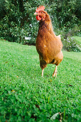 Domestic brown chicken on lawn (Robert Lang Photography) Tags: animal animalfriendly cagefree chicken colour copyspace domestic domesticated egg feather food fowl freerange grass green hen lawn organic pet poultry produce tree vertical