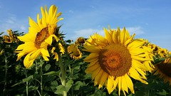 Sunny Morning (Been Around) Tags: 20160802075322 sunny morning sunnymorning sun sonne flower sunflower sunflowers sonnenblumen gaspoltshofen österreich onlyyourbestshots oberösterreich oö ö austria autriche aut a austrian europe eu europa expressyourselfaward europeanunion concordians worldtrekker travellers thisphotorocks feld sommer summer august oberseling bachmanning welsland note3 galaxynote3