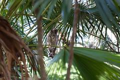 IMG_7814.jpg (M Bee) Tags: animals barkingowl bird