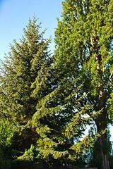 Canon EOS 5D Mark III - IMGL5607 (rogerbtree) Tags: tree pruning trees arborist view service views chainsaws shoreline wa innis arden barnett care arboriculture