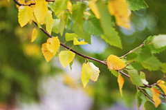 When thinking about life, remember this: no amount of guilt can change the past and no amount of anxiety can change the future. (Sandra H-K) Tags: autumn september leaves autumnleaves bokeh bokehwednesday hbw helios402 nature outside outdoors branch green yellow dof depthoffield bright soft softfocus