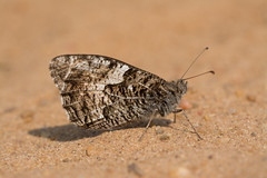 Grayling (gillian.pullinger) Tags: butterfly insect surrey sand sandyheath thursleycommon grayling wildlife