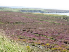 3255 Heather and gorse (Andy panomaniacanonymous) Tags: 20160808 cymru fff flowers ggg gorse heather hhh ling lll ppp purple southstackrspb ulexeuropaeus uuu wales yellow yyy