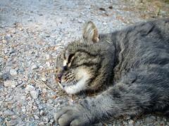 (SofiDofi) Tags: cat furry feline cute neighborhood oldpal ise vestvoldlia outdoors june summer2016