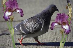 Pigeon (swong95765) Tags: pigeon flowers bird animal eye walk strutting scavenger hunting iris