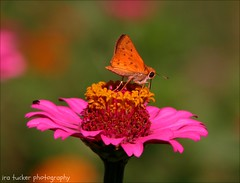 While money can't buy happiness.... (itucker, thanks for 2.3+ million views!) Tags: macro bokeh hbm butterfly zinnia dukegardens skipper fieryskipper
