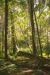 Blocked (ChrisDale) Tags: blidworth blidworthwoods bright chrisdale chrismdale evening forest golden green light nottingham nottinghamshire notts pine shadow silhouette summer trees wood woodland