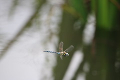 Dragonfly Flying (aaron19882010) Tags: dragonfly midair flying nature wildlife outdoors outside reeds hunter green blue water yelllow canon 750d 600mm wings buzz