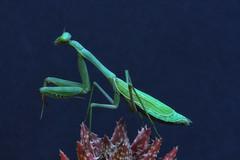 Praying Mantis (DannyGar2013) Tags: insect prayingmantis mantis mantisreligiosa gottesanbeterin mantereligieuse  mandarangkal  mantidereligiosa bnsyrsa