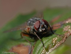 DSC_6456 (Paul Rayney) Tags: fly compound eye close up macro insect nikond7100sigma105