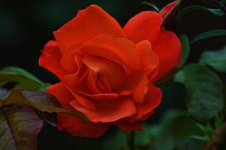 09-05-2016-Orange Rose- (Explored)