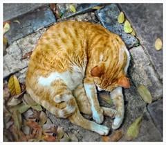 Gato Sanjuanero (San Juan Cat) (SamyColor) Tags: canon50d tamron28mmf25adaptall2 lenteanalogo analoglens color colori colorido colores san juan oldsanjuan viejosanjuan puertorico gatos gato adoquines cobblestones lightroom