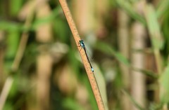 Damselfly (careth@2012) Tags: damselfly nature britishcolumbia