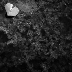 Lilly Pads 007 (noahbw) Tags: captaindanielwrightwoods d5000 nikon abstract blackwhite blackandwhite bw coontail forest leaf lillypad minimal minimalism monochrome natural noahbw pond square summer vines water woods