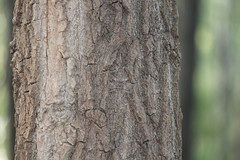 Spot the Moth! (Marcell Krpti) Tags: moth mimicry tree bark grey pattern