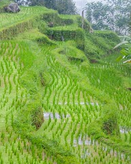 Jatiluwih Rice Terrace (SqueakyMarmot) Tags: travel asia indonesia bali 2016 tabanan jatiluwihriceterrace ricepaddies green rainy unesco worldheritagesite