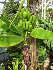 Musa acuminata 2 (heinvanwinkel) Tags: 2012 banaan bloemvandedag commelinids euphyllophyta hortus leiden liliopsida magnoliophyta mei mesangiospermae musaacuminata musaceae nederland petrosaviidae spermatophyta tracheophyta zingiberales