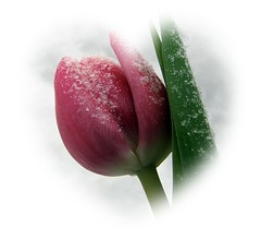 Happy birthday (HJsfoto) Tags: pink winter frost tulip soe tulpan awesomeblossoms