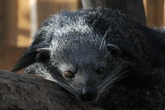 DSC_6516 (Joachim S. Mller) Tags: animal germany mammal deutschland zoo hessen darmstadt tier vivarium binturong asianbearcat arctictisbinturong civet sugetier schleichkatze marderbr arctictis