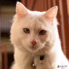 TIGRE BLANC ! (bassapower) Tags: pet pets cute animal cat chat soft gorgeous tiger pussy deaf jolie tigre whitecat housecat beau whitetiger chatte pussies joli felin animauxdomestiques chattes animeaux sourd deafcat chatblanc sourds bassapower animeauxdecompagnie