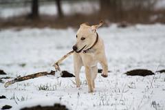 5 (phoenic) Tags: dog dogs photo labrador foto fotografie photos retriever hund fotos labradorretriever hunde bilder phtos welpe welpen dogphotos dunde hundefotos dogphoto hundebilder hundefoto hundefotografie