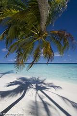 Maldives palmtree coconut / Palmier sur plage (Marie-Ange Ostré) Tags: island indianocean maldives archipelago atoll île archipel océanindien ©2013marieangeostré