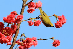 IMG_8545 (HL's Photo) Tags: plant flower bird nature animal taiwan sakura taipei whiteeye birdflower  sakurawhiteeye