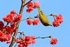 IMG_8545 (HL's Photo) Tags: plant flower bird nature animal taiwan sakura taipei whiteeye birdflower 花鳥 sakurawhiteeye