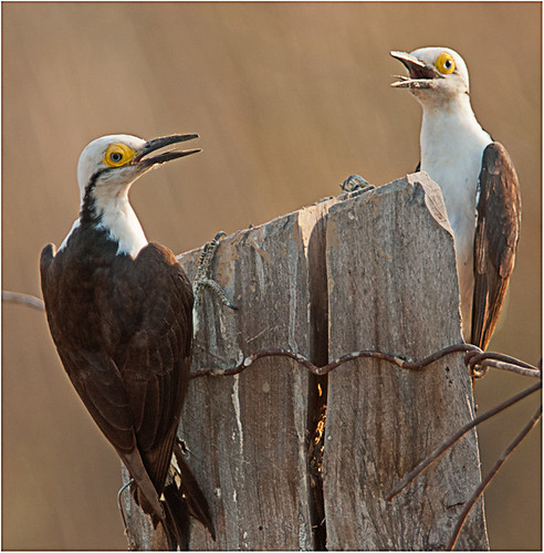 Pair of White Woodpeckers