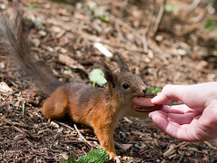 Assistant, hand that squirrel a cookie (TomiTapio) Tags: nose helsinki squirrel cookie iso400 ears orava ekorre tame écureuil sciurusvulgaris sqrl eartufts canonef85mmf18usm eurasianredsquirrel kurre