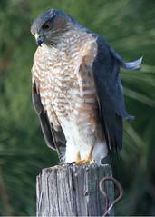 bird oregon raptor coopershawk odfw laddmarshwildlifearea cathynowak