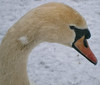 Mute Swan-3-13 Feb 2013 (Martyn Gill - IMAGES -731,000 Views - Thank You...) Tags: uk winter snow cold birds leeds olympus westyorkshire muteswans yeadontarn yeadon rememberthatmomentlevel1 rememberthatmomentlevel2 creativephotocafe vg120d705 martyngillphotography2013