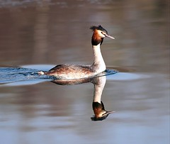 Great Crested Grebe  (Explored) (Bogger3.) Tags: reflections greatcrestedgrebe ddp sunnymorning smoothwater warmhands supershot venuspool avianexcellence canon600d sunrays5