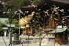 NODATE tea ceremony (tomosang R32m) Tags: japan shrine tea ceremony 桜 cherryblossom sakura fukuoka 神社 nodate 福岡 春 さくら fukuma お茶会 miyaji 寒緋桜 宮司 tsuyazaki miyajidake fukutsu 津屋崎 野点 福間 宮地嶽神社 cerasuscerasoides 福津