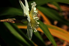 daffodil (justusfoto) Tags: white blur green yellow yard march louisiana layer sideview daffodill spring13