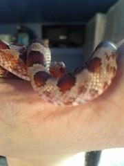 My Snakes (nicklandovich) Tags: amber creamsicle cornsnake bloodred flickrandroidapp:filter=none pantheropisguttatus