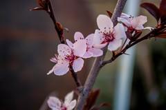 Cherry Blossoms (Lady Pandacat) Tags: california flowers pentax tehachapi pandacat 2013 tinaangel
