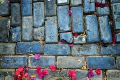 Accounting (pantagrapher) Tags: street blue flower brick stone petals nikon puertorico cobblestone sanjuan viejo d600