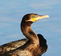Cormorant 3, 03/14/13 (VinCar927) Tags: arizona birds riparianranchatwaterpreserve