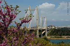 CHALCIS HANGED BRIDGE (GREECE, EVIA, CHALCIS) (KAROLOS TRIVIZAS) Tags: bridge sea town greece cables shore fabaceae pillars purpleflowers hangingbridge evia digitalcameraclub judastree cercissiliquastrum chalcis evripos euripus blinkagain hangedbridge