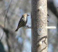 Pine Siskin, Palos Park, Cook Co., IL (3-22-13) (Walter Marcisz) Tags: birds finches fringillids passerines