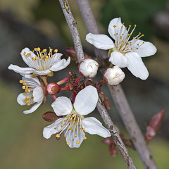 Merisier (Prunus avium) Wild Cherry (Sinkha63) Tags: france nature spring prunusavium arbre printemps springflowers fra limousin rosaceae wildcherry gean sweetcherry merisier puydarnac cerisierdesoiseaux cerisiersauvage flowerthequietbeauty