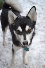 Dilly Diamond in the snow (Flashman foxes) Tags: dog pet snow cute husky adorable akk miniaturehusky alaskankleekai dillydiamond