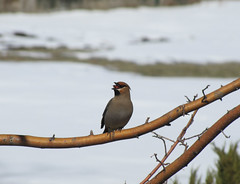 Swallowing it Whole (USFWS Mountain Prairie) Tags: bohemianwaxwing nationalelkrefuge