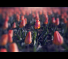 A Bokeh of Tulips (Photofreaks [Thank you for 2.000.000 views]) Tags: park essen tulips bokeh ruhr ruhrgebiet gruga adengs wwwphotofreaksws shopphotofreaksws